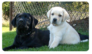Labrador Retriever Breeders Wisconsin